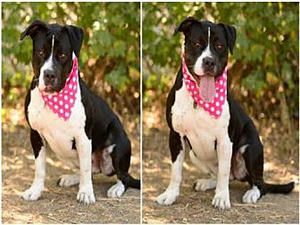Greater Swiss Mountain Dog/Pit Bull Terrier Mix Dog for adoption in Los Angeles, California - MAYA