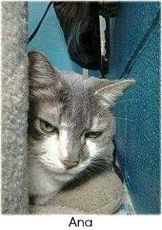 Domestic Shorthair Cat for adoption in Huntington, New York - Abby & Ana