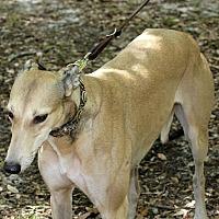 Adopt A Pet :: Hotshot - Longwood, FL