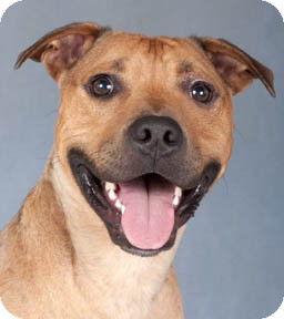 American Staffordshire Terrier/American Pit Bull Terrier Mix Dog for adoption in Chicago, Illinois - Ollie
