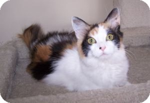 Domestic Mediumhair Kitten for adoption in Colorado Springs, Colorado - K-MaryG3-Sasha
