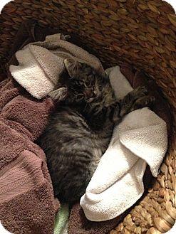 Manx Kitten for adoption in Harvey, Louisiana - Lil Man
