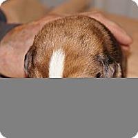 Adopt A Pet :: Jack aka Stella 8 - Conway, AR
