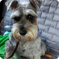 Adopt A Pet :: Raisinette - Laurel, MD