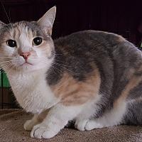 Calico Cat for adoption in Pasadena, California - Roxy