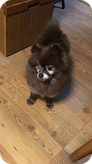 Pomeranian Dog for adoption in Greensboro, Maryland - Sherlock