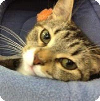 Domestic Shorthair Cat for adoption in Pelham, Alabama - Mary Ellen
