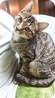 Domestic Shorthair Cat for adoption in St. Louis, Missouri - Yorrick
