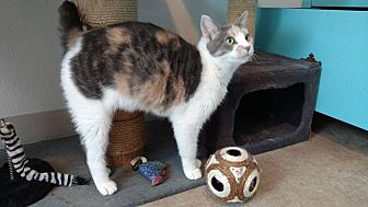 Domestic Shorthair Cat for adoption in Hanna City, Illinois - Lebie