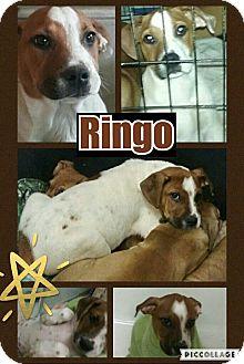 Hound (Unknown Type)/Cattle Dog Mix Puppy for adoption in Des Moines, Iowa - Ringo