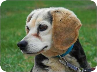 Beagle Mix Dog for adoption in St. James, Missouri - Ted