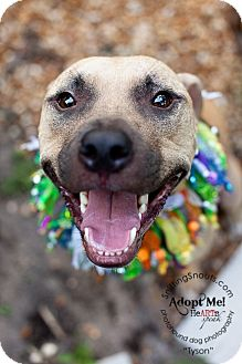 Black Mouth Cur/American Pit Bull Terrier Mix Puppy for adoption in Orlando, Florida - Tyson