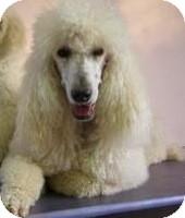 Poodle (Standard) Dog for adoption in Bentonville, Arkansas - Francheska