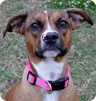 Boxer Mix Dog for adoption in Baton Rouge, Louisiana - Belle