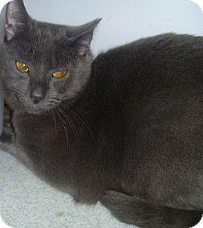Domestic Shorthair Cat for adoption in Hamburg, New York - Sadie