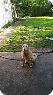Greater Swiss Mountain Dog/Retriever (Unknown Type) Mix Dog for adoption in Dallas, Texas - zzMaverick