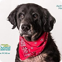 Adopt A Pet :: HARLEY - Camarillo, CA