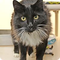Adopt A Pet :: Doctor Mew - Harrisonburg, VA