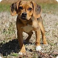 Adopt A Pet :: Zayla - Fairfax Station, VA