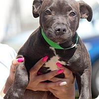 Adopt A Pet :: Dunkin - Columbus, GA