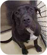 American Pit Bull Terrier Mix Dog for adoption in Emory, Texas - Suzie