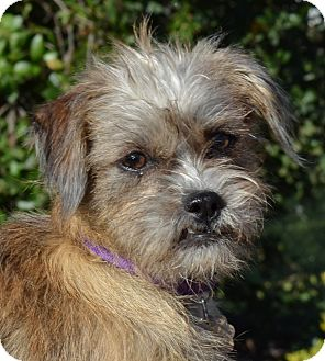 Shih Tzu/Terrier (Unknown Type, Small) Mix Puppy for adoption in Simi Valley, California - Muffy