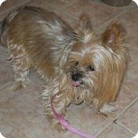 Adopt A Pet :: Tashi - dewey, AZ