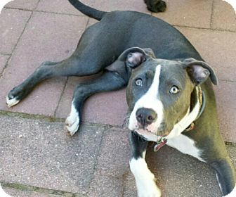 American Staffordshire Terrier Mix Dog for adoption in Wilmington, Delaware - Daisy