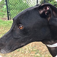 Adopt A Pet :: Fuzzys Cowboy - Longwood, FL