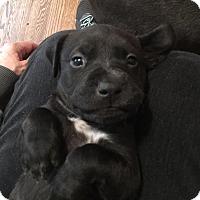 Adopt A Pet :: Harper - Alpharetta, GA