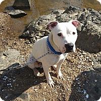 Adopt A Pet :: Pickles - Durham, NC