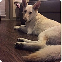 Adopt A Pet :: Scout - Fort Worth, TX