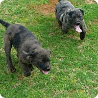 Labrador Retriever/Catahoula Leopard Dog Mix Dog for adoption in Westminster, Colorado - Jude