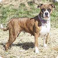 Boxer Mix Dog for adoption in Bedford, Indiana - Raquel