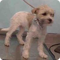 Adopt A Pet :: Wes - Encino, CA