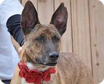 Australian Cattle Dog/Labrador Retriever Mix Dog for adoption in Gilbert, Arizona - Thumper