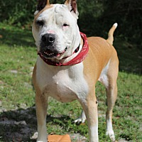 Staffordshire Bull Terrier Mix Dog for adoption in Boca Raton, Florida - Gulliver