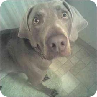 Weimaraner Dog for adoption in Attica, New York - Reiner