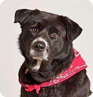 Labrador Retriever/Shepherd (Unknown Type) Mix Dog for adoption in Baton Rouge, Louisiana - Knightly