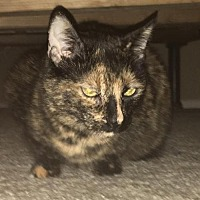 Domestic Shorthair Cat for adoption in Mission Viejo, California - Missy