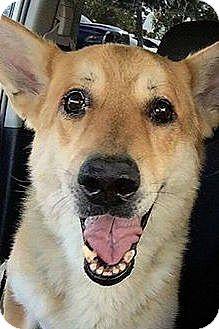 German Shepherd Dog Dog for adoption in Las Vegas, Nevada - Rupert