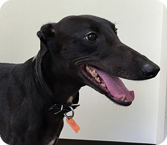 Greyhound Dog for adoption in West Palm Beach, Florida - Eve