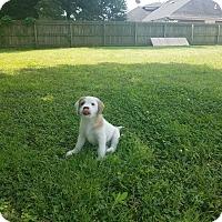 Adopt A Pet :: Bobby Bones - Glastonbury, CT