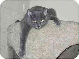 Russian Blue Cat for adoption in Scottsdale, Arizona - Kaetu