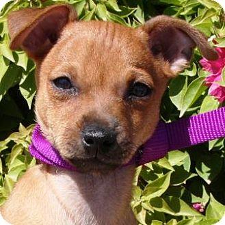 Chihuahua Mix Puppy for adoption in Gilbert, Arizona - Cooper
