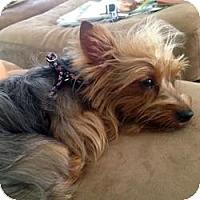 Adopt A Pet :: Lola Twilight - Beechgrove, TN