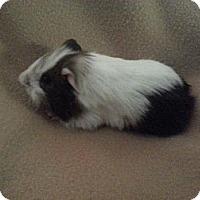 Adopt A Pet :: Cyrus & Spot - Pittsburgh, PA