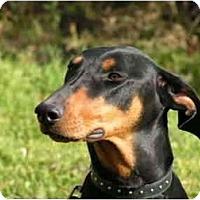 Adopt A Pet :: Cherie - Rigaud, QC
