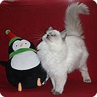 Adopt A Pet :: Callie - Sanford, ME