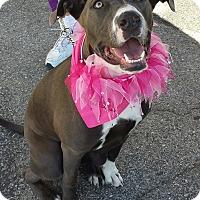 Adopt A Pet :: Shelby - Redondo Beach, CA